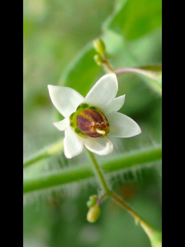 ヒヨドリジョウゴ 花