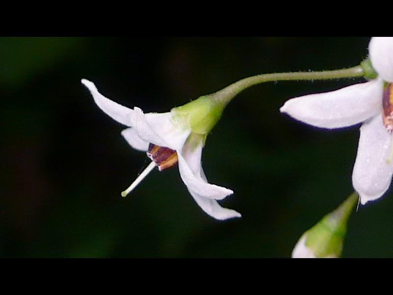ヒヨドリジョウゴ 花の横顔・萼