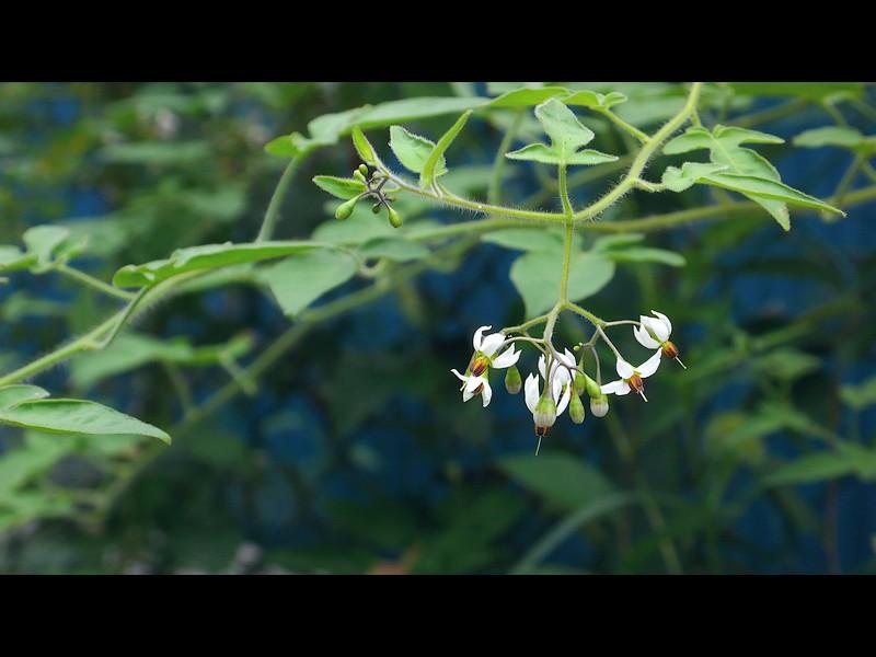 ヒヨドリジョウゴ 引いた花序周辺の写真