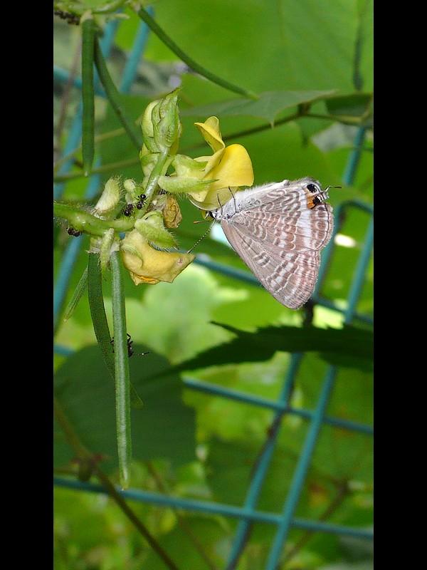 ヤブツルアズキ 蝶 ウラナミシジミ