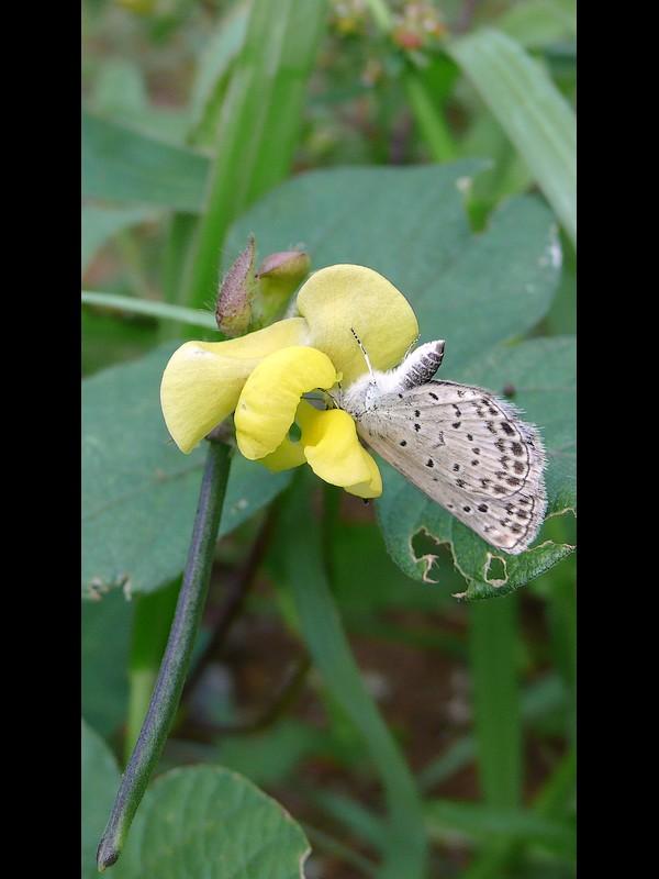 ヤブツルアズキ 蝶 ヤマトシジミ