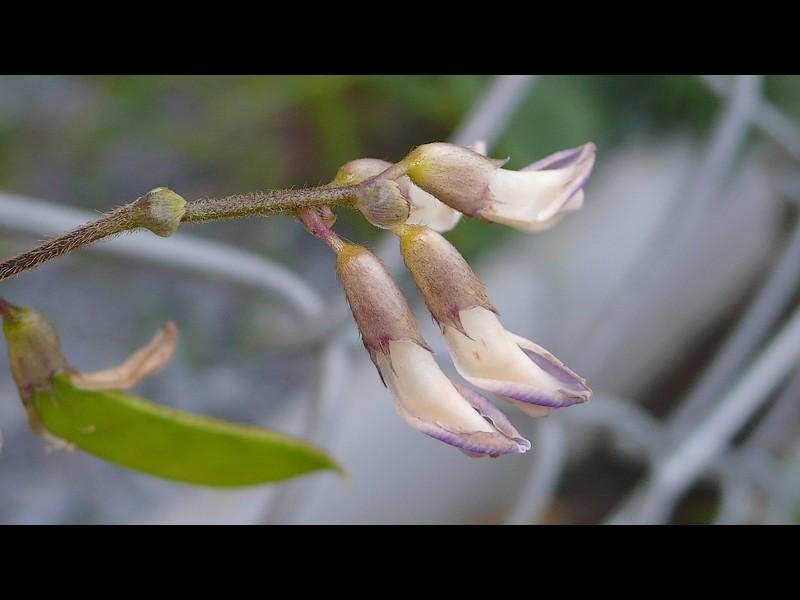 ヤブマメ 花の横顔と苞