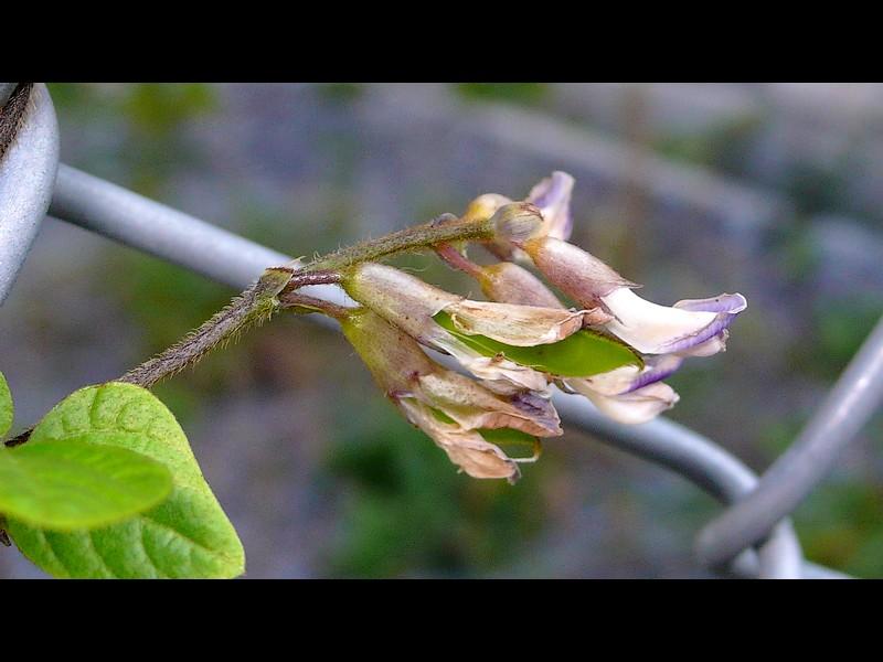 ヤブマメ 花後から若い果実