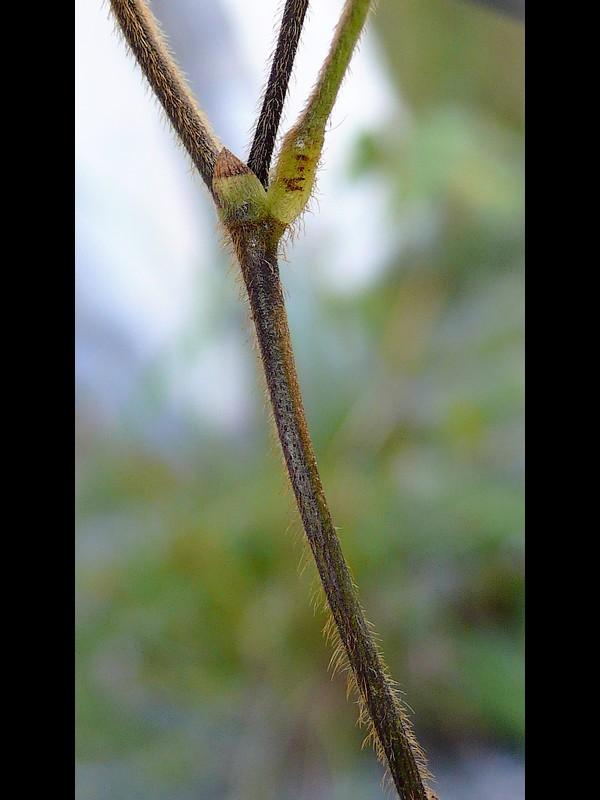 ヤブマメ 茎と托葉