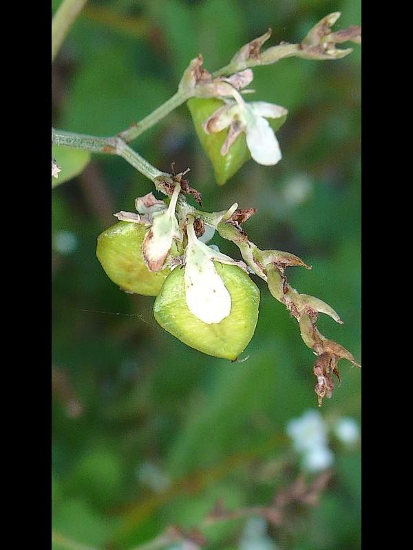 シャクチリソバ 若い果実