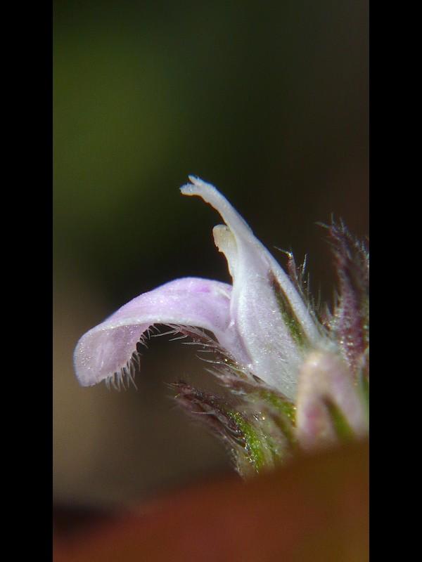 キツネノマゴ 花の横顔