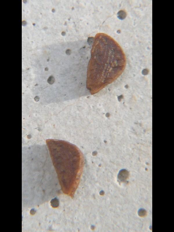メマツヨイグサ 種子