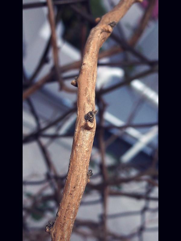 ヒヨドリジョウゴ 幹上の新芽状になった短縮している新しい枝(まだ正月)