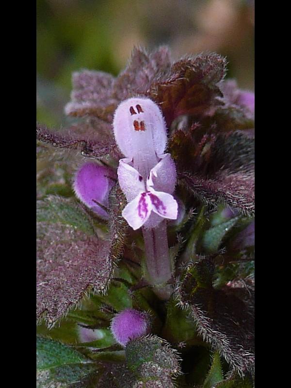 ヒメオドリコソウ 花とオシベ