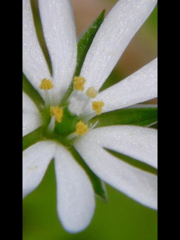 ノミノフスマ 花のシベの様子