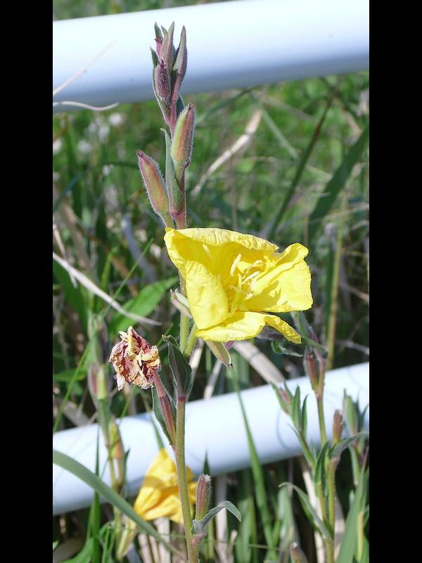 マツヨイグサ 萎れ始めの花