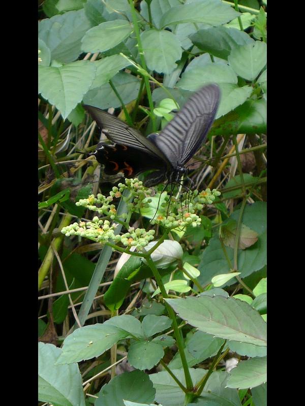 ヤブガラシ チョウの吸蜜