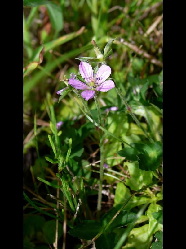 ゲンノショウコ 薄赤紫花