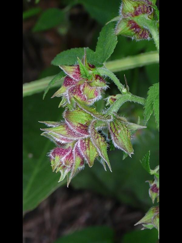 カナムグラ 雌花序