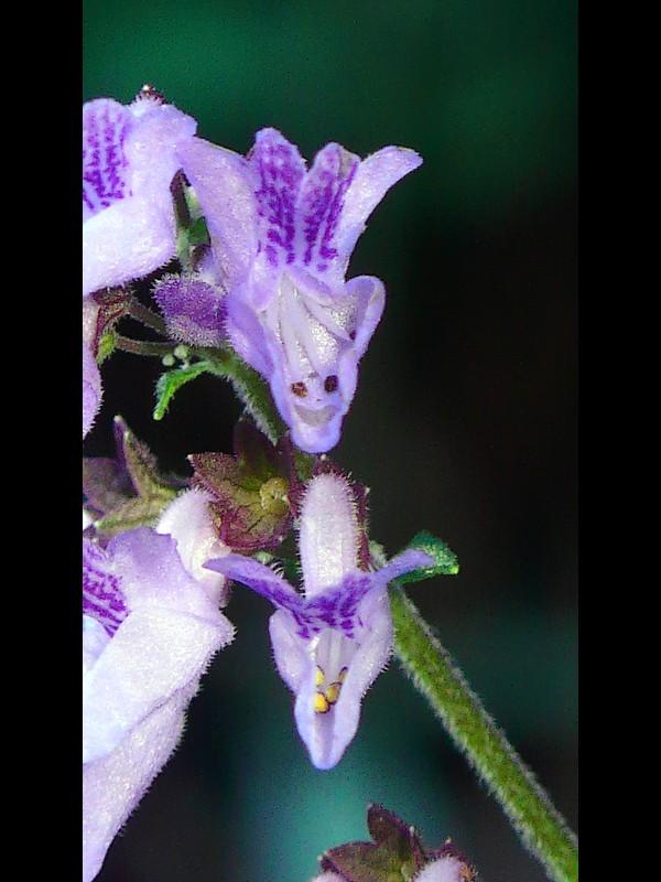 ヤマハッカ 花