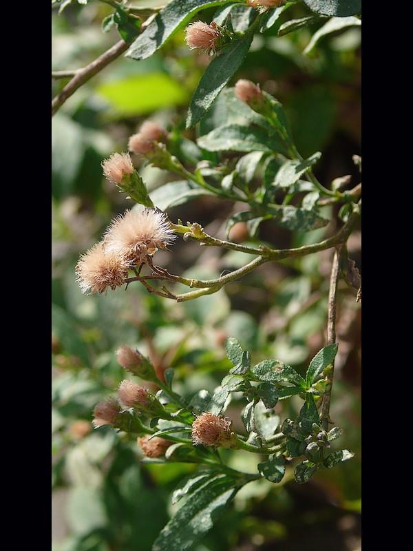 ノコンギク 果実の冠毛