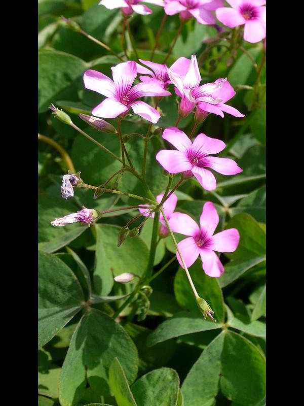 イモカタバミ 花序