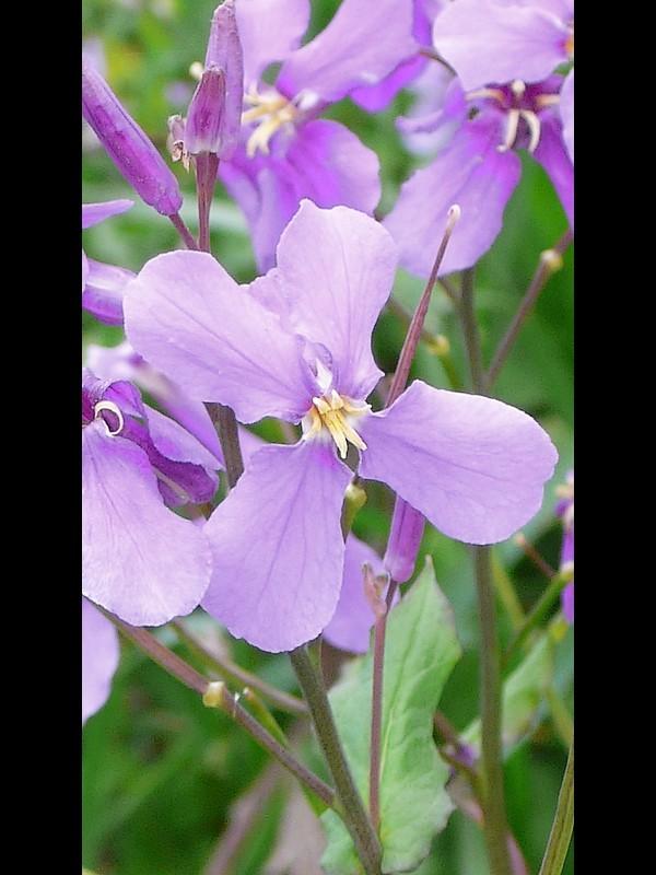 ショカツサイ 花