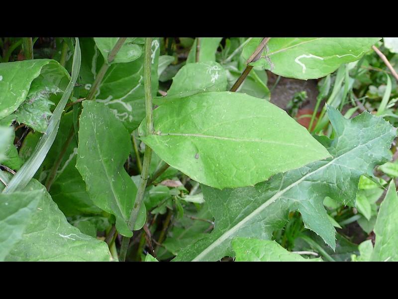 ショカツサイ 上部と中部の葉