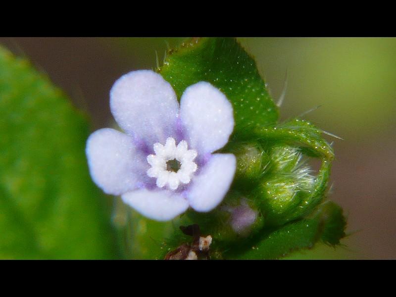 ハナイバナ 藤色系薄青紫の花