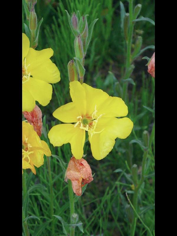 マツヨイグサ 花