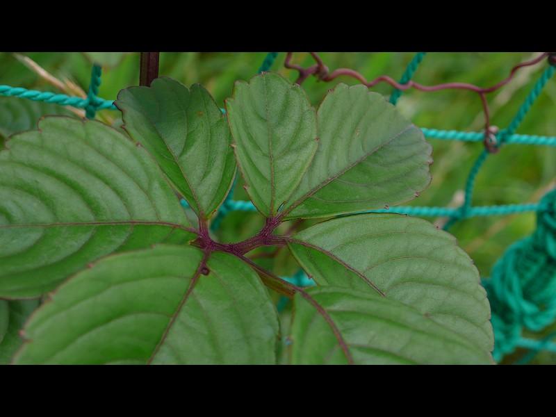 ヤブガラシ 7小葉