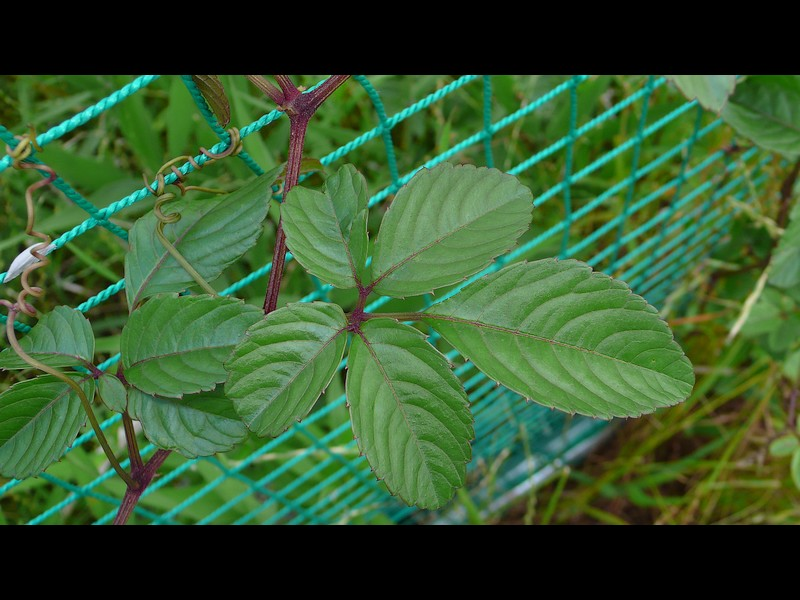 ヤブガラシ 典型の葉