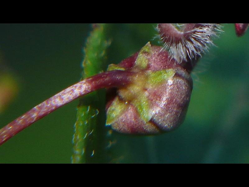 オオカモメヅル 蕾の萼