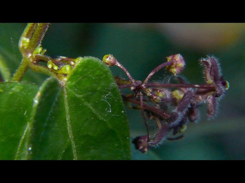 オオカモメヅル 花序