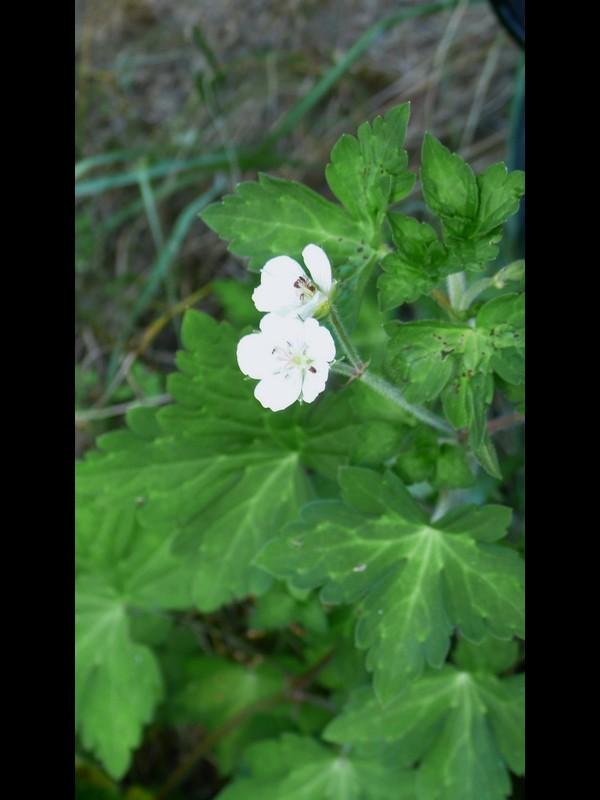 ゲンノショウコ 純白花
