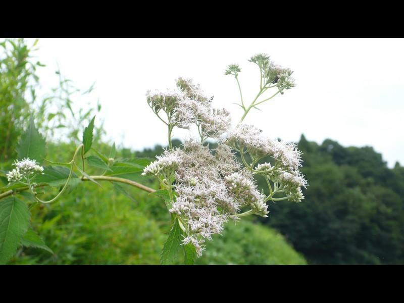 サケバヒヨドリ 花序