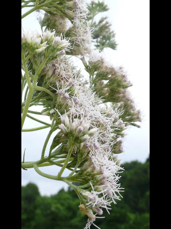 サケバヒヨドリ 花序と軸
