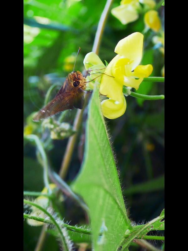 ヤブツルアズキ 蝶 チャバネセセリ