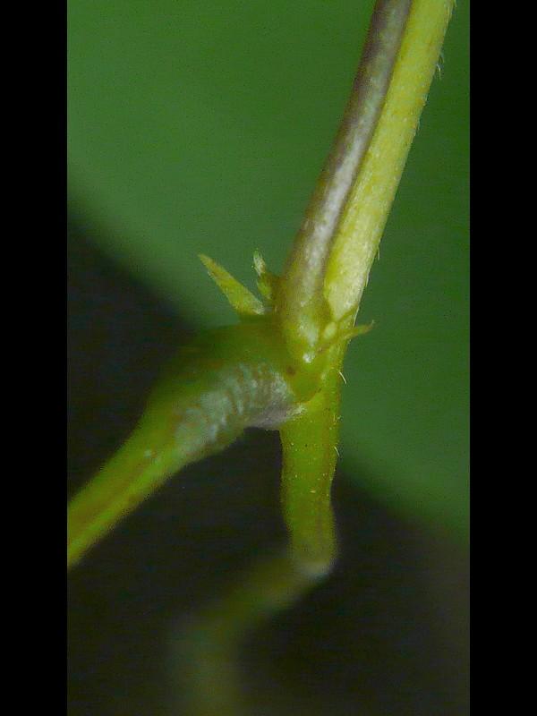 ノササゲ 托葉