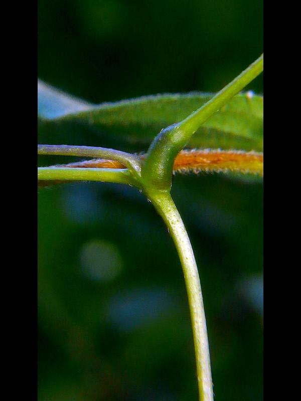 ノササゲ 葉柄と茎と托葉