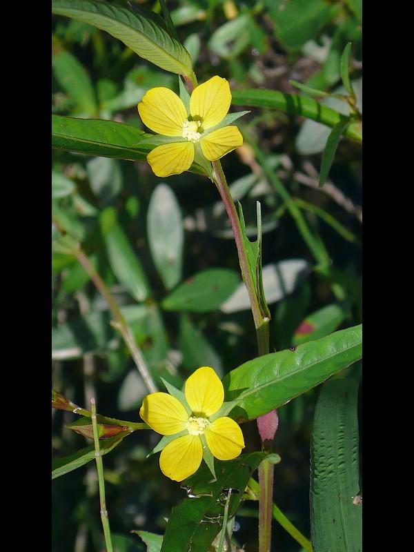 ヒレタゴボウ 花