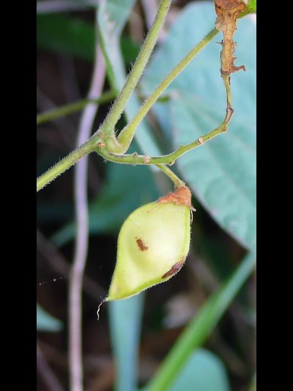トキリマメ 若い果実