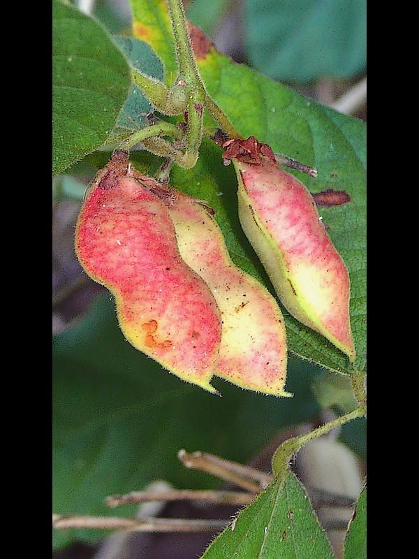 トキリマメ 赤い果実