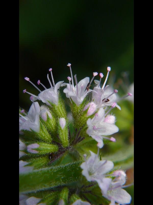 ハッカ 花と萼