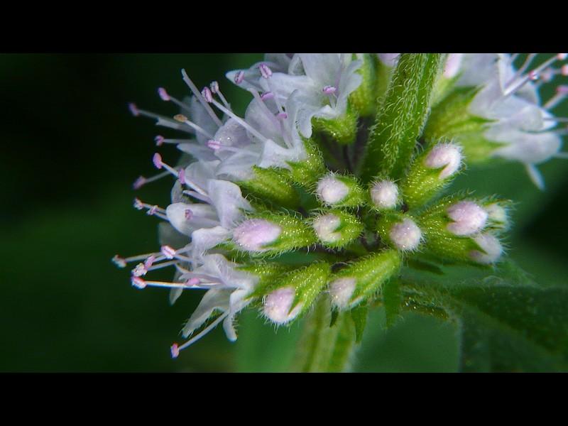 ハッカ 蕾と萼