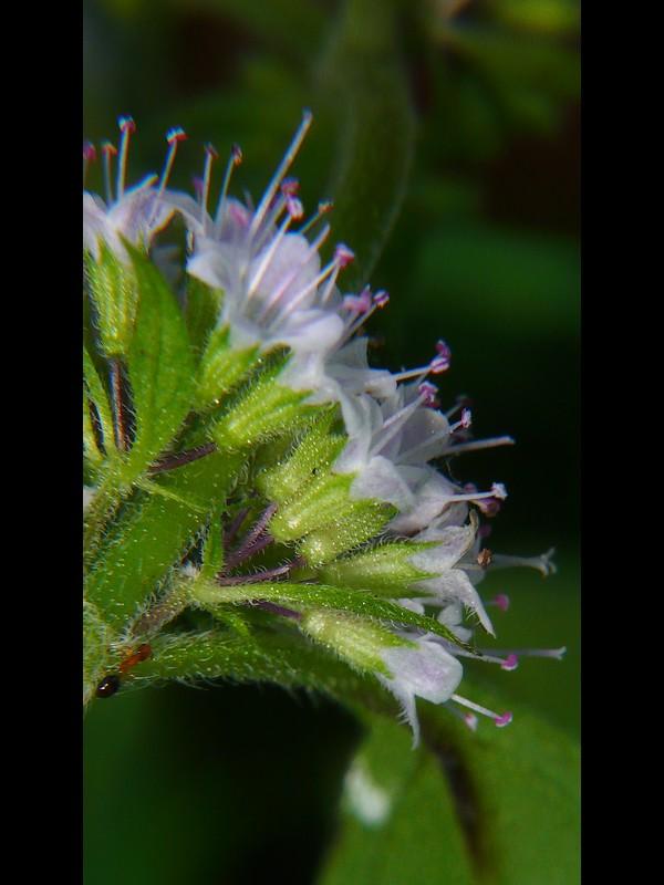 ハッカ 花序と萼
