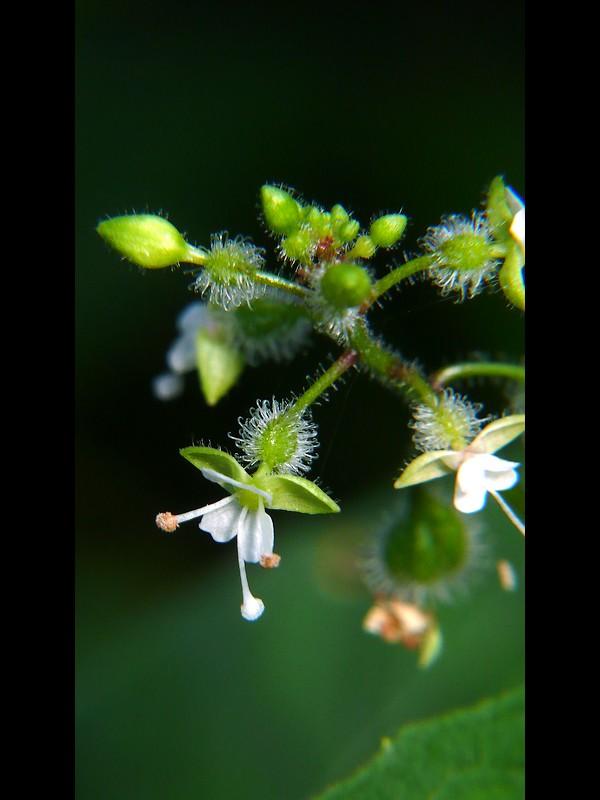 ミズタマソウ 花序と花