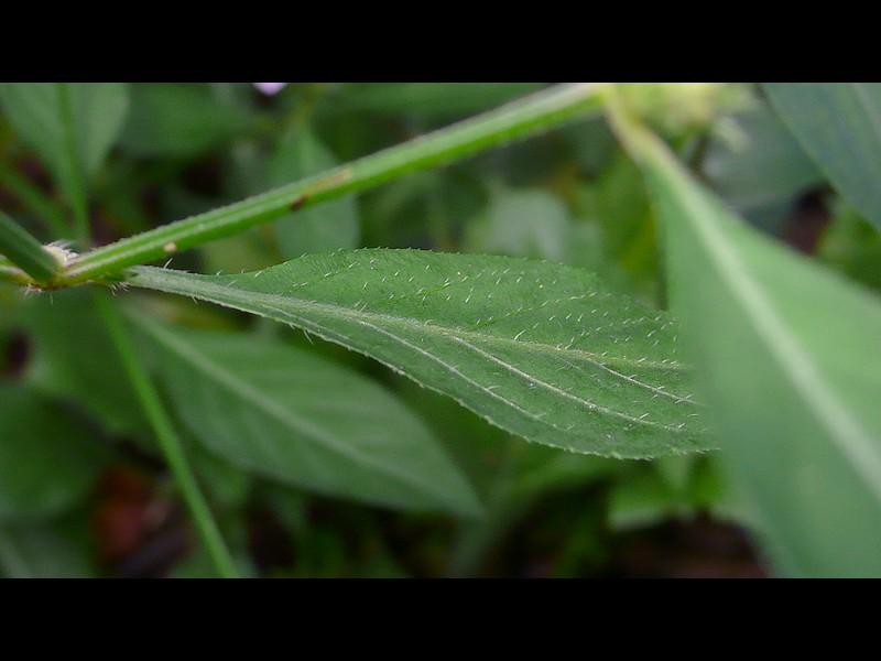 キツネノマゴ 葉表