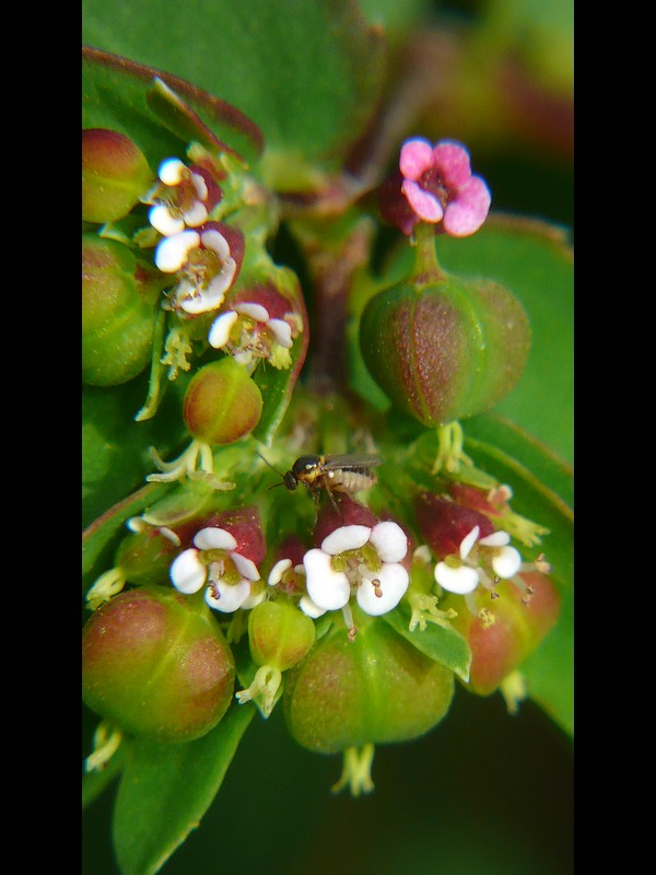 オオニシキソウ 花序と虫