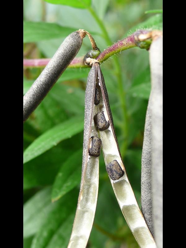 ヤブツルアズキ 果実と種子