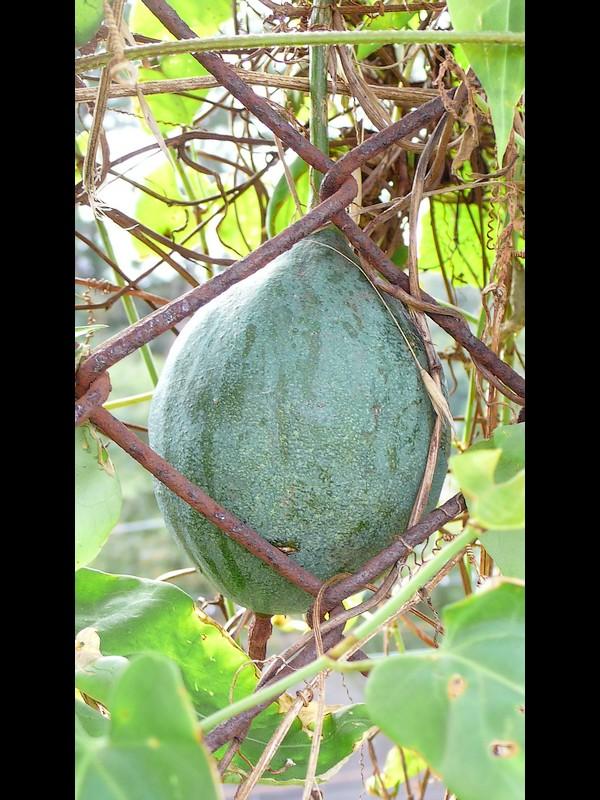キカラスウリ 若い果実