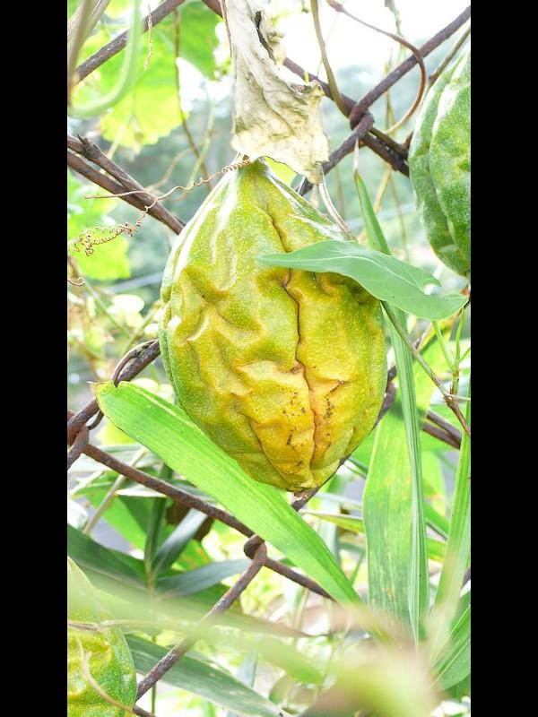 キカラスウリ 黄色くなった果実