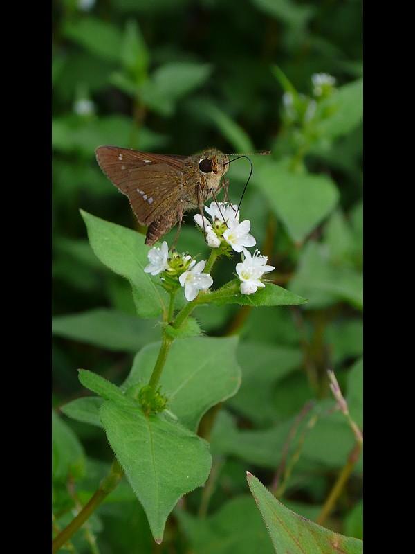ミゾソバ 吸蜜するセセリ蝶