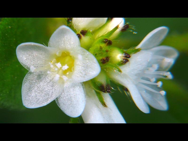 ミゾソバ 花