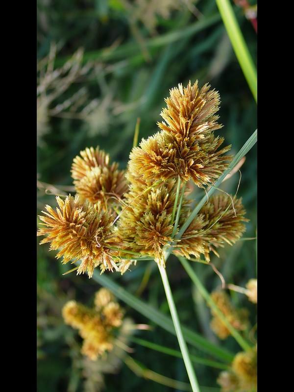 ヌマガヤツリ 花序